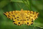 Gelbe Fleckenspanner