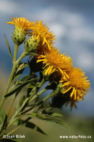 Deutscher Alant (Inula germanica)