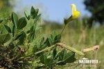Gelbe Spargelerbse