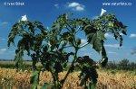 Weisser Stechapfel