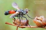 sp.Tachina (Diptera)