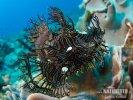 Algen-Drachenkopf