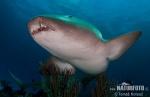 Atlantischer Ammenhai