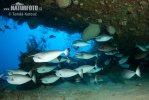 Blauklingen-Nasendoktorfisch, Kurznasen-Doktorfisch