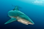 Bullenhai, Gemeine Grundhai