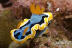 Chromodoris quadricolor