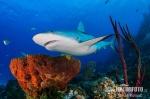 Karibischer Riffhai