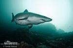 Kleinzahn-Sandtigerhai