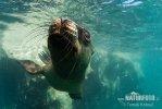 Mähnenrobbe, Südamerikanischer Seelöwe