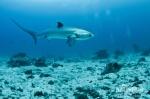 Pazifischer Fuchshai