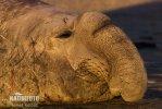 Südlicher See-Elefant