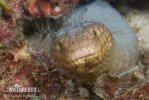 Timor-Riffschlange