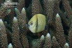 Weißschwanz-Preußenfisch