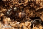 Ameisengrille
