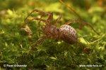 Bolyphantes luteolus