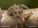 Gibbaranea gibbosa