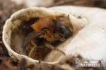 Goldene Schneckenhaus-Mauerbiene