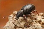 Kleiner Schwarzer Rüsselkäfer