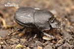 Onthophagus semicornis