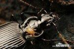 Schwarzer Enghalskäfer