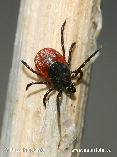 Tick Bite Pictures In Dogs