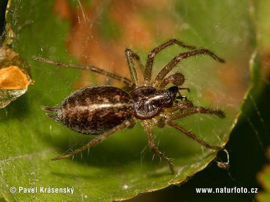 Spinne (Agelena sp.)