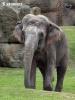Asiatische Elefant