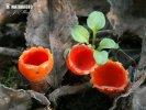 Eingerissener Tulpenbecher