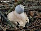 Kleiner Nest-Erdstern