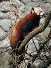 Kleiner Roter Panda, Katzenbär, Bärenkatze