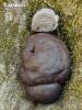 Kohlen-Kugelpilz