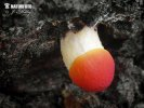Orangeroter Dachpilz