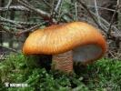 Orangeroter Ritterling