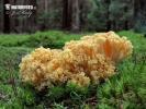 Rosagelbe Buchen-Koralle