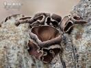 Schwarzbrauner Pappelbecherling