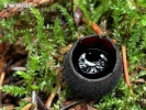 Schwarzglanzender Borstling