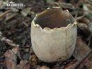 Schwarzweisse Becherlorchel