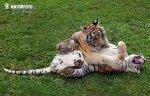 Sibirischer Tiger (Hybride)