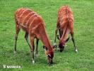 Sitatunga antelope