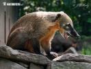 Südamerikanische Nasenbär