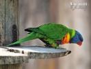Tasmanien Blauwangenallfarblori