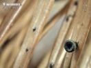 Weißtannen-Stromabecherling
