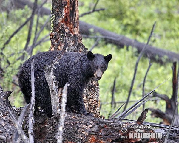 Amerikanische Schwarzbär Bilder, Amerikanische Schwarzbär ...