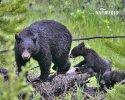 Amerikanische Schwarzbär
