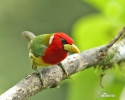 Andenbartvogel