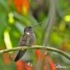 Brauner Andenkolibri