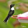 Brustband-Andenkolibri