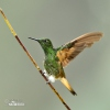 Fahlschwanzkolibri