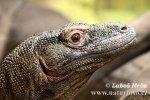 Komodovaran Komododrache