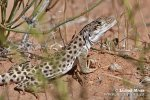 Leopardleguan